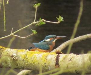 Kingfisher02