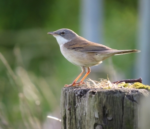 WhiteThroat13