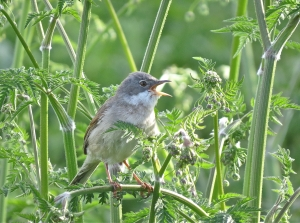 WhiteThroat16