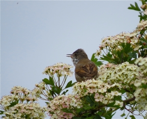 WhiteThroat17