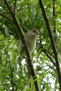 WillowWarbler02