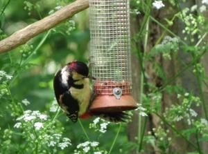WoodpeckerMale01