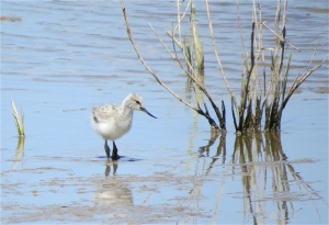 AvocetYoung01