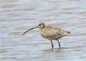 Curlew05
