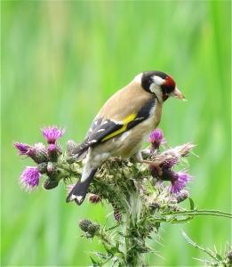 Goldfinch10