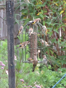 10Goldfinches