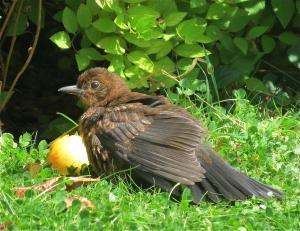BlackBirdJuvenile
