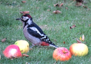 GreaterSpottedWoodpecker05