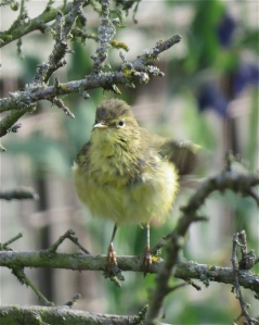 WillowWarbler04