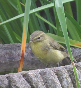 WillowWarbler05