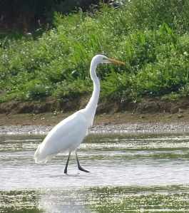 GreatEgret01