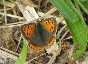SmallCopper