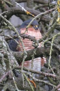 Sparrowhawk21