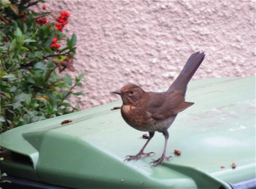BerryBlackbird02