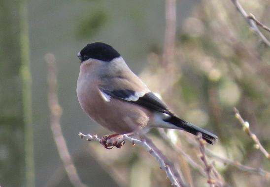 Bullfinch20