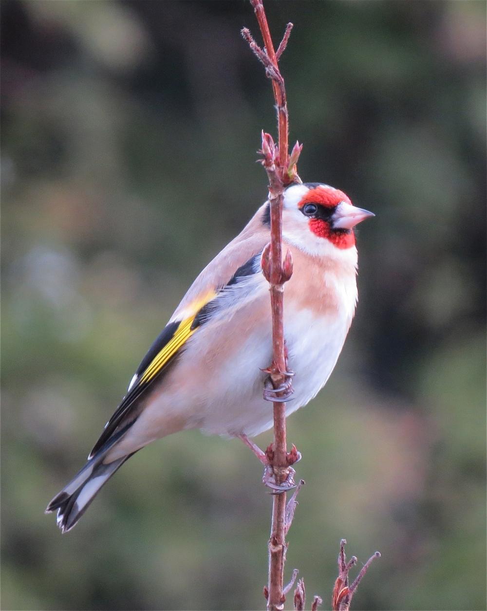 Goldfinch20