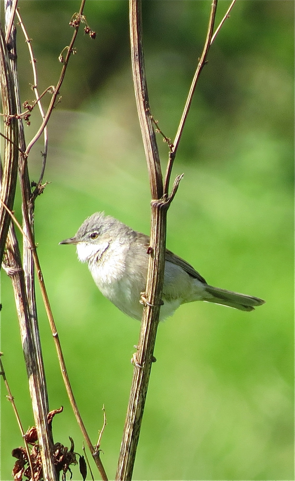 WhiteThroat21