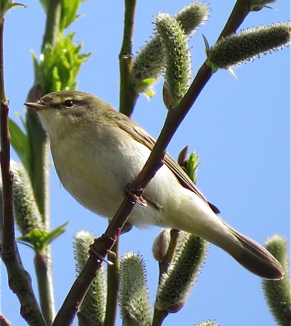 WillowWarbler10