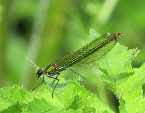 EmeraldDamselfly