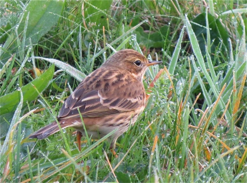 meadowpipit10