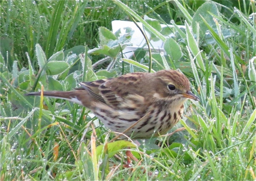 meadowpipit12