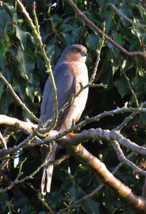 sparrowhawk31