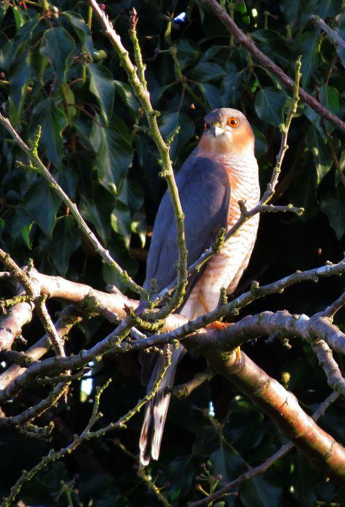 sparrowhawk32