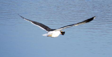 blackbackedgull11