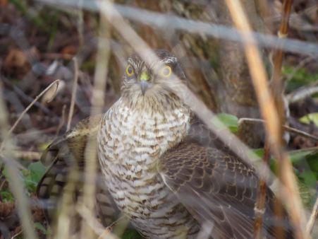 sparrowhawk40