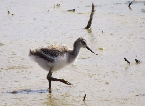 AvocetYoung02
