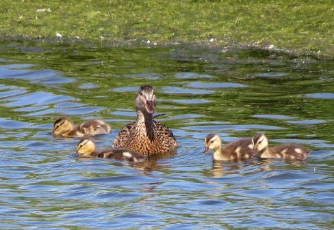Ducklings04