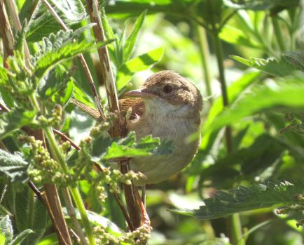 WhiteThroat33