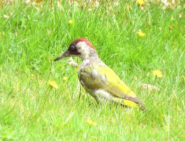 GreenWoodpecker19