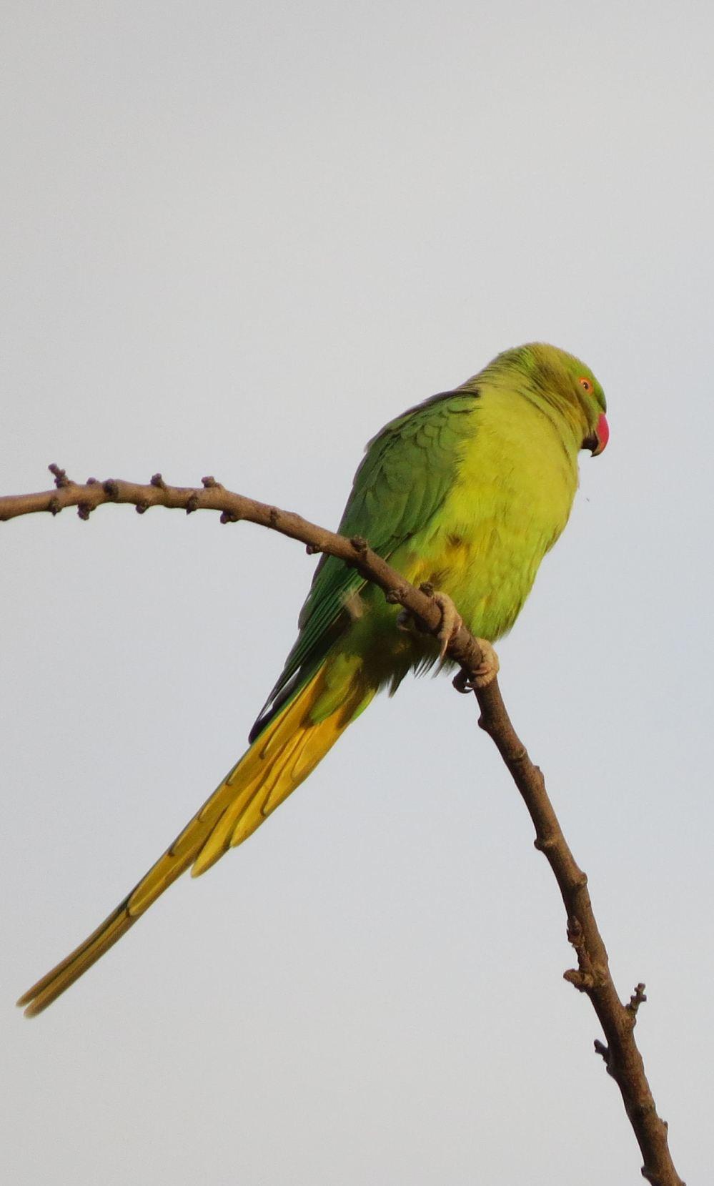 Parakeet01