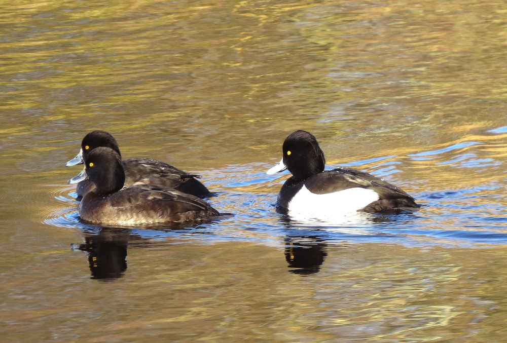 TuftedDucks01