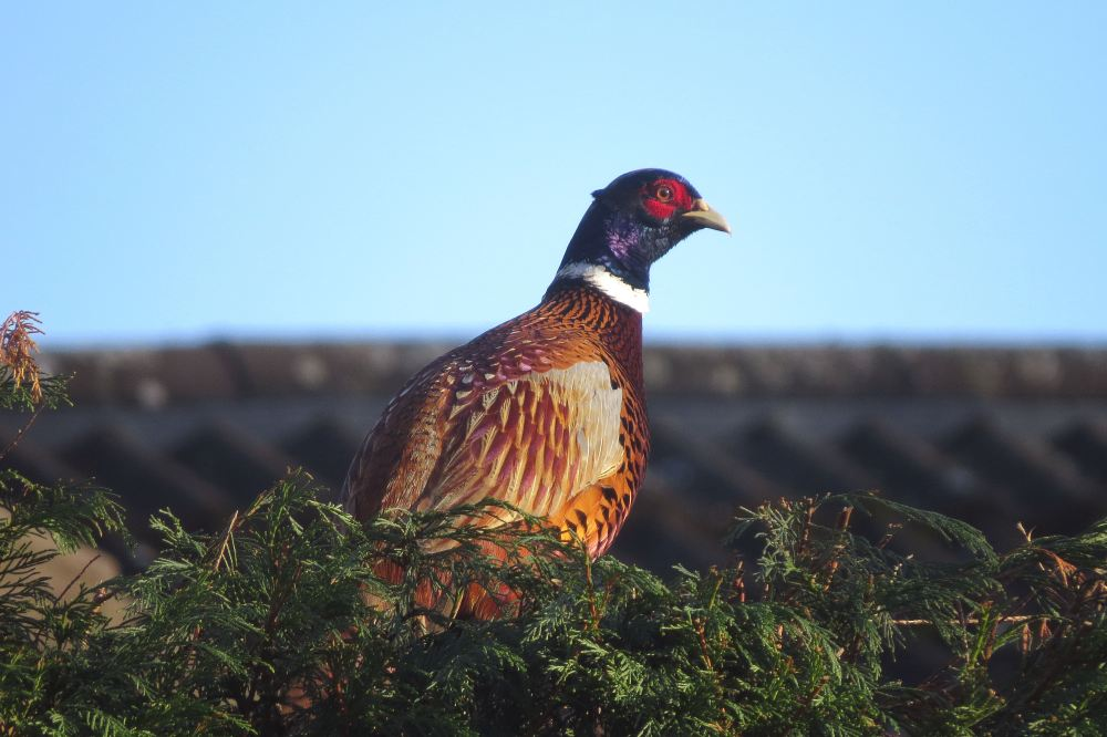 Pheasant01