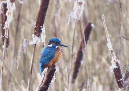 Kingfisher22
