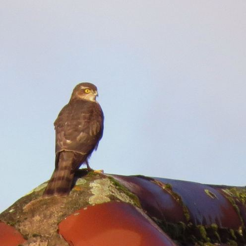 Sparrowhawk42