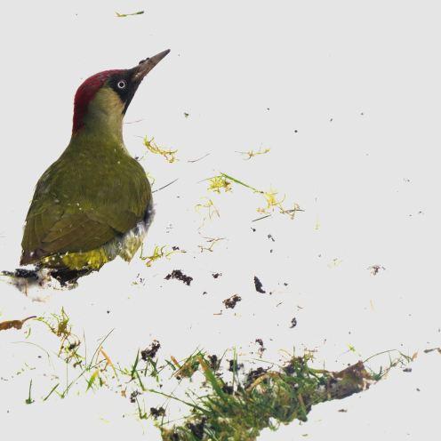 GreenWoodpecker21