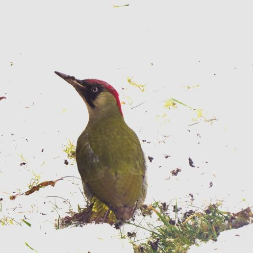 GreenWoodpecker25