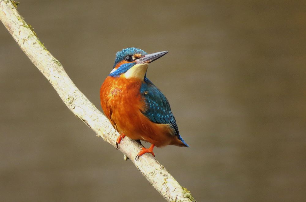 Kingfisher25