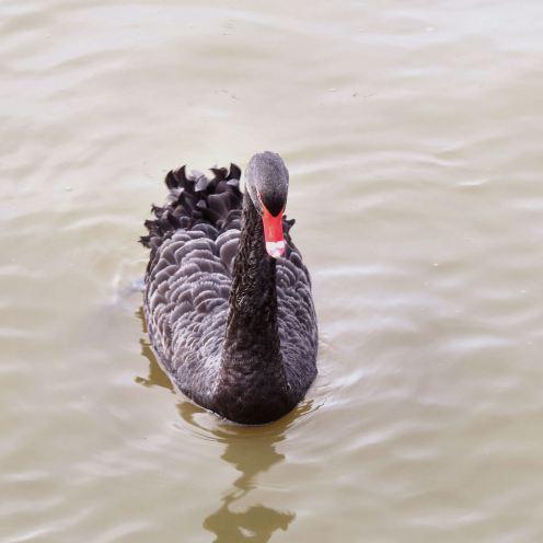 BlackSwan05