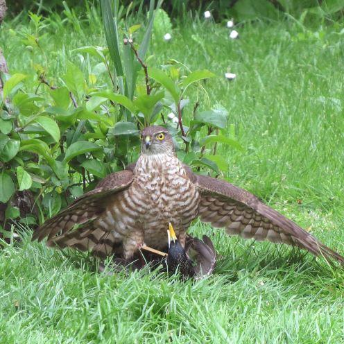 Sparrowhawk43