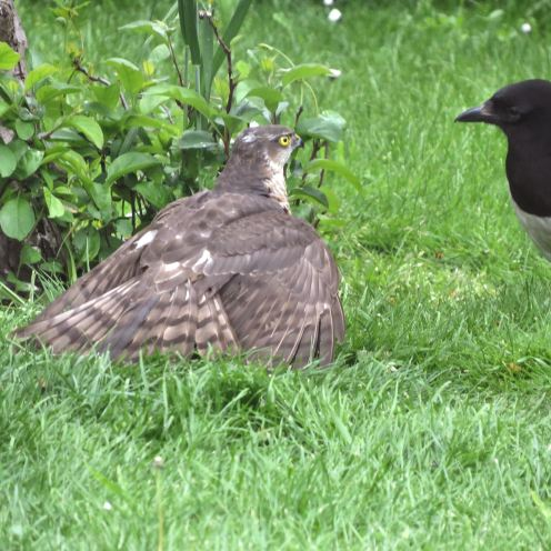 Sparrowhawk44
