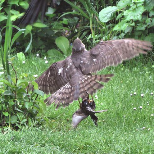 Sparrowhawk45