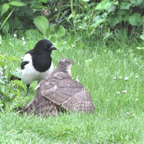 Sparrowhawk46