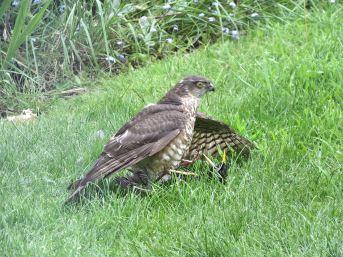 Sparrowhawk47