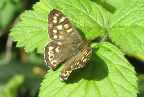 SpeckledWood12x