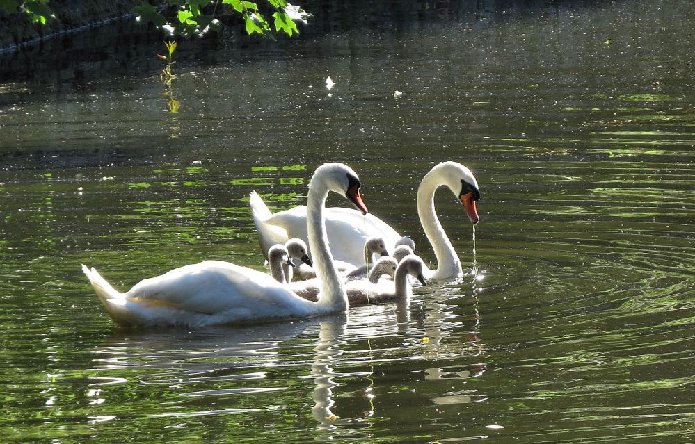 SwanFamily05