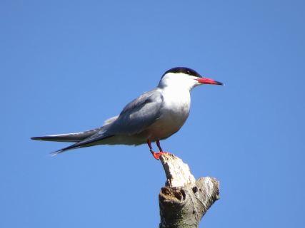 Tern33